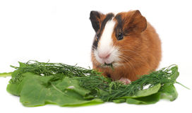 Guinea pig on white background Stock Photography