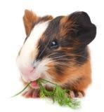 Guinea pig on white background Stock Photos