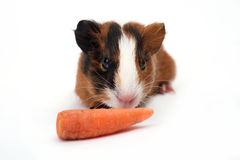 Guinea pig on white background Stock Images