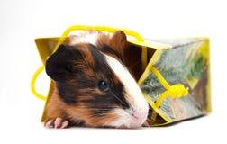 Guinea pig on white background Royalty Free Stock Photos