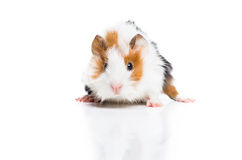 Guinea pig on white background Stock Image