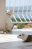 Guinea pig with white cat on the balcony Stock Photos
