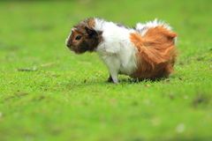 Guinea pig. The white-and-reddish guinea pig in the grass Royalty Free Stock Photos