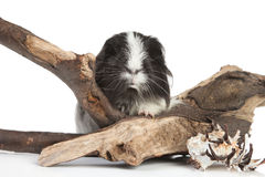 Guinea pig on white in studio Royalty Free Stock Image