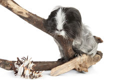 Guinea pig on white in studio Stock Images