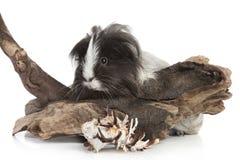 Guinea pig on white in studio Stock Image