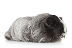 Guinea pig on white in studio Royalty Free Stock Photos