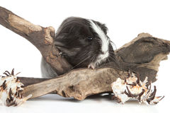 Guinea pig on white in studio Royalty Free Stock Photo