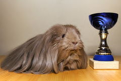 Guinea pig winner. The winner of guinea pig exhibition Royalty Free Stock Photo