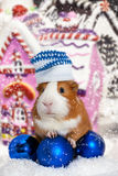 Guinea pig in winter hat over Christmas background Royalty Free Stock Photo