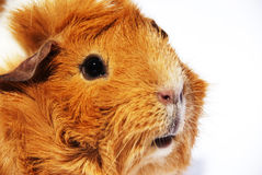 Guinea pig_02 Royalty Free Stock Image