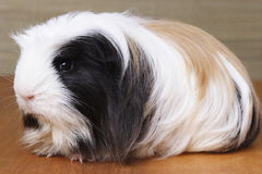 Guinea pig on Wood - 2 Stock Photography