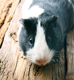 Guinea pig . Stock Photography