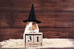 Guinea pig with wooden cubes. And black hat on brown background stock photography
