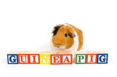 Guinea pig with the words on blocks. Isolated on a white background stock photo