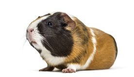 Guinea Pig , 1 year old, lying against white background. Isolated on white Stock Photography
