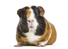 Guinea Pig , 1 year old, lying against white background. Isolated on white Stock Photos