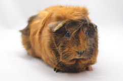 Guinea pig yellow Royalty Free Stock Image