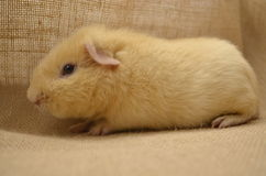Guinea pig yellow Stock Photo