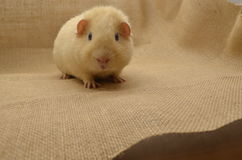 Guinea pig yellow Stock Photography