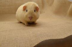 Guinea pig yellow