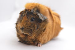 Guinea pig yellow Royalty Free Stock Photography