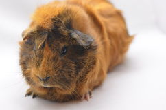 Guinea pig yellow Royalty Free Stock Photo