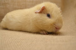 Guinea pig yellow Stock Image