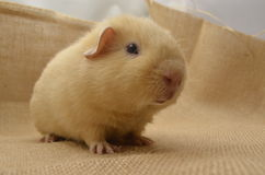Guinea pig yellow Stock Photos
