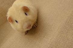 Guinea pig yellow Stock Images