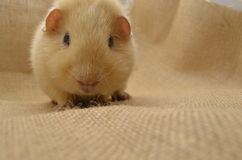 Guinea pig yellow. Rodent hamsters rodentia cavy rabbit Royalty Free Stock Photo