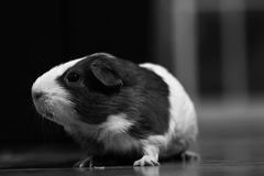 Guinea pig. Young guinea pig at home, wild anda healthy pet. family  and small animal Royalty Free Stock Photos