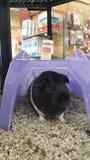 Guinea Piggy Stock Image