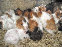 Guinea Pigs. A bunch of guinea pigs gathered together Royalty Free Stock Photos