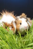 Guinea pigs Stock Images