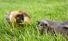 Free Guinea Pigs Royalty Free Stock Images - 15622469