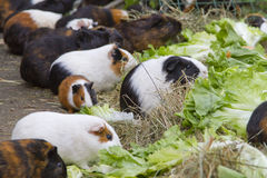 Guinea pigs. A group of guinea pigs feeding fresh lettuce outdoors royalty free stock images