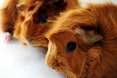 Guinea Pigs. Closeup of two brwon guinea pigs Stock Photo