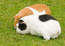 Guinea Pigs Royalty Free Stock Images