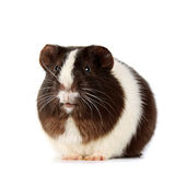 Guinea pigs. On a white background Royalty Free Stock Image