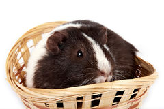 Guinea pigs. Guinea pig in a basket on a white background Royalty Free Stock Image
