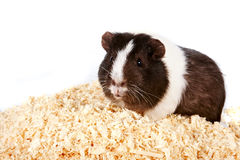 Guinea pigs. On sawdust On a white background Royalty Free Stock Images