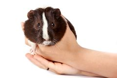 Guinea pigs Stock Photos