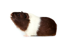 Guinea pigs. Brown-white curious guinea pigs on a white background Royalty Free Stock Photos