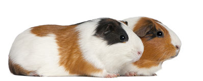 Guinea pigs, 3 years old, lying Stock Images
