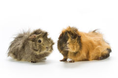 Guinea pigs Stock Photo
