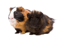 Guinea pigs. Two guinea pigs pets standing  isolated Royalty Free Stock Photo
