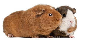 Guinea pigs, 9 months old, in front of white Royalty Free Stock Images