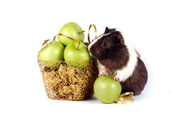 Guinea pigs with apples in a gold basket. On a white background Stock Image