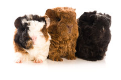 Guinea pigs. baby Royalty Free Stock Photography